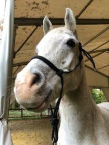 Equicoaching La taille du cheval