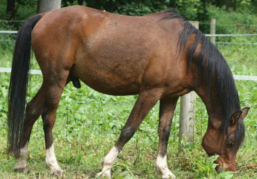 elka, cheval du troupeau d'équicoaching